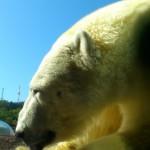 ホッキョクグマ旭山動物園9