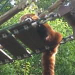 レッサーパンダ・旭山動物園5