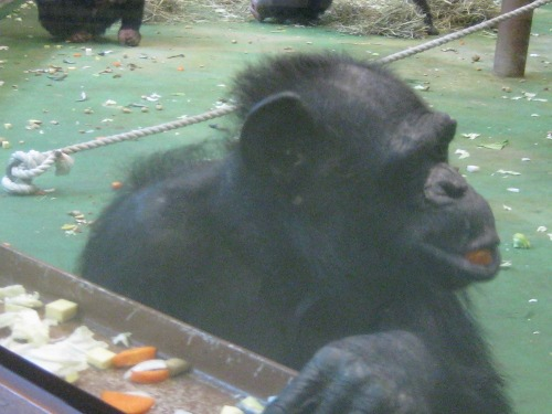 チンパンジー館旭山動物園3